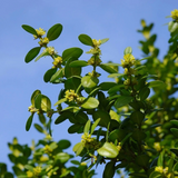 Cropped image of Boxwood flower