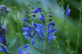 Skullcap flower