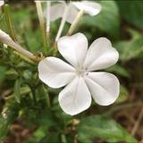 White plumbago flower