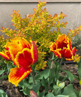 Image of Parrot Tulips