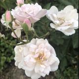 Marie Pavie Rose Essence