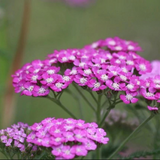 Cropped image of Pink Yarrow flowers