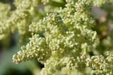 Rheum flower