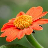 Closeup photo of an orange Tithonia flower