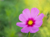 Image of a pink Cosmos flower