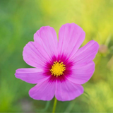 Cropped image of a pink Cosmos flower