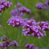 Cropped image of Verbena