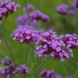 Purple verbena flower closeup with green garden background
