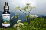 Angelica flower essence bottle with Angelica plant and foggy mountains in background