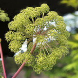 Closeup of Angelica flower