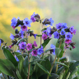 Close up of Lungwort flowers