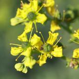 Closeup of Rue flower cluster