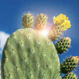 Cropped image of a prickly pear flower