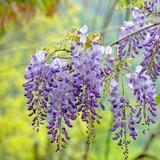 Wisteria Flower Essence