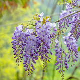 Purple Wisteria flowers with a spring green garden background