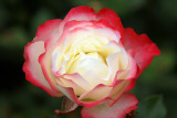 Close up of single Double Delight, a bicolor Rose bloom