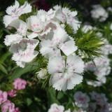Sweet William Flower Essence