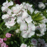 White Sweet William flowers growing in a bunch.