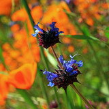 Cropped version of blue chia flowers against a backdrop of California Poppies