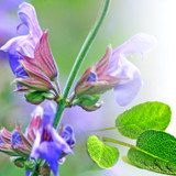 Close up photo of sage flowers