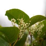 Closeup of Japanese Knotweed flower