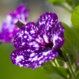Purple petunia with white spots resembling a night sky.