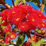 Red flowers of the gum (eucalyptus) tree.
