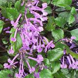 Purple spurflower spikes