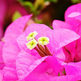 Close up shot of pink bougainvillea flowers and bracts.