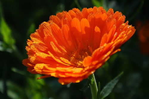 Calendula Flower Essence