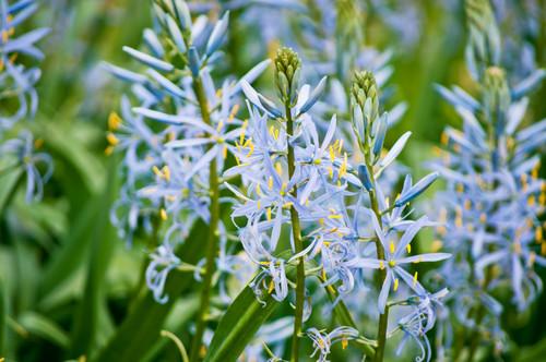 Camas Flower Essence