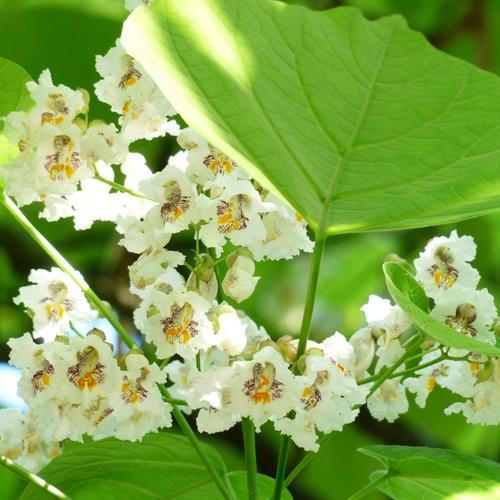 Catalpa Flower Essence