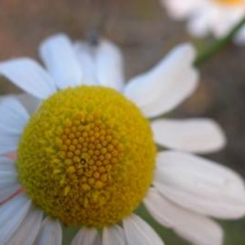 Chamomile Flower Essence