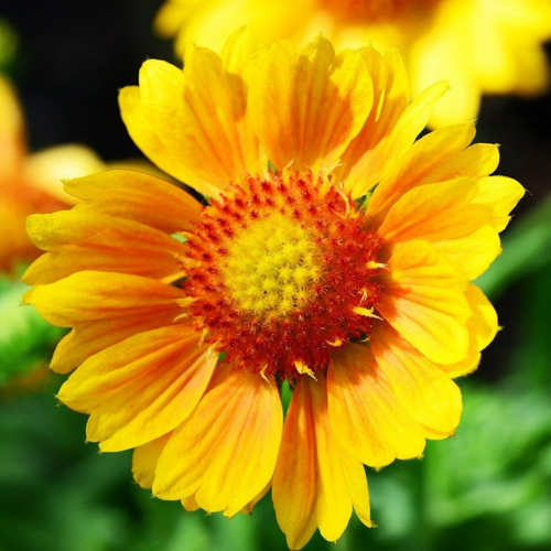 Gaillardia Flower Essence