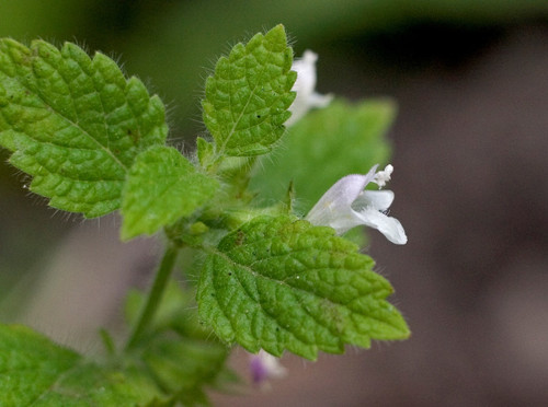 Lemon Balm Flower Essence