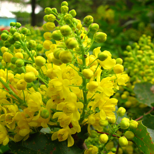 Oregon Grape Flower Essence