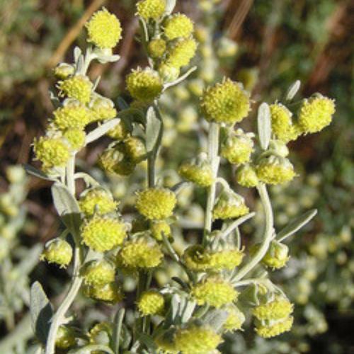 Wormwood Flower Essence