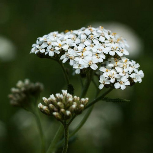 Yarrow Flower Essence