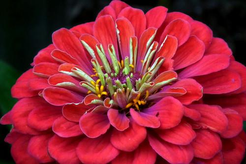 Zinnia Flower Essence