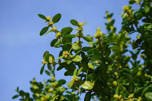 Boxwood Flower Essence