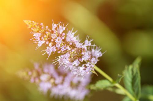 Peppermint Flower Essence