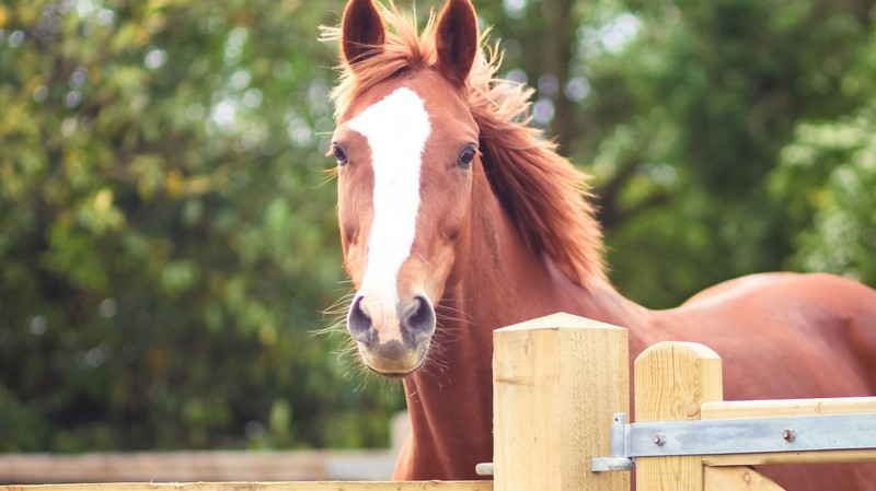 chestnut-horse-face-huds-and-toke-horse-treats.jpg