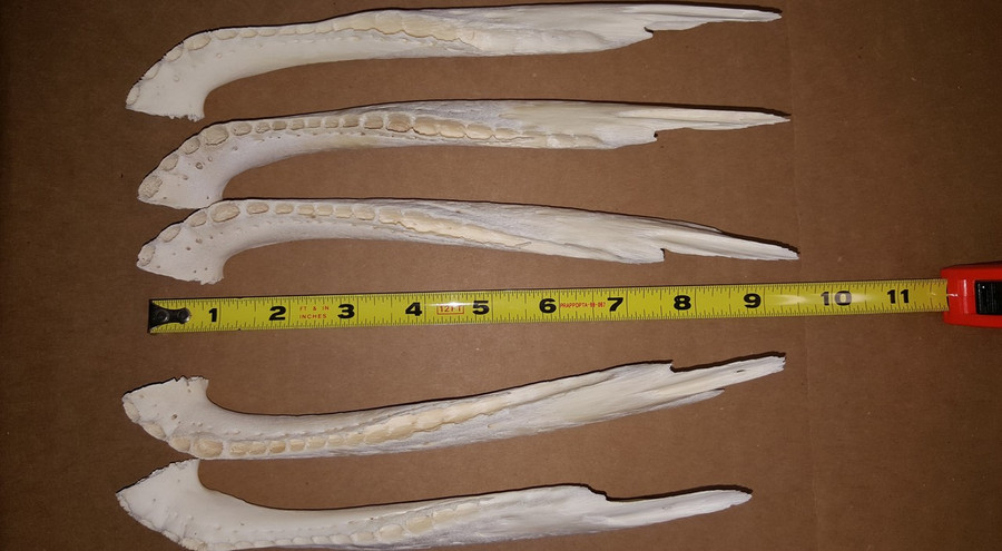 GENUINE ALLIGATOR JAWBONES - MEDIUM