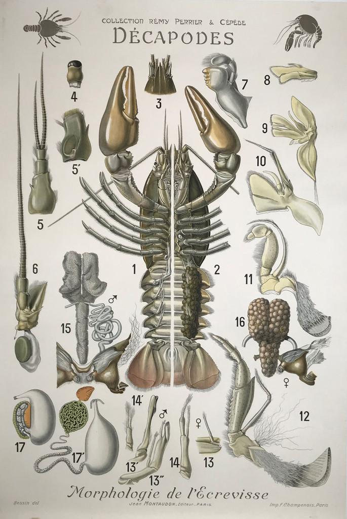 Decapodes Morphologie de L'Ecrevisse