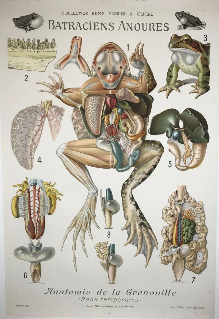 Batraciens Anoures Anatomie de la Grenouille