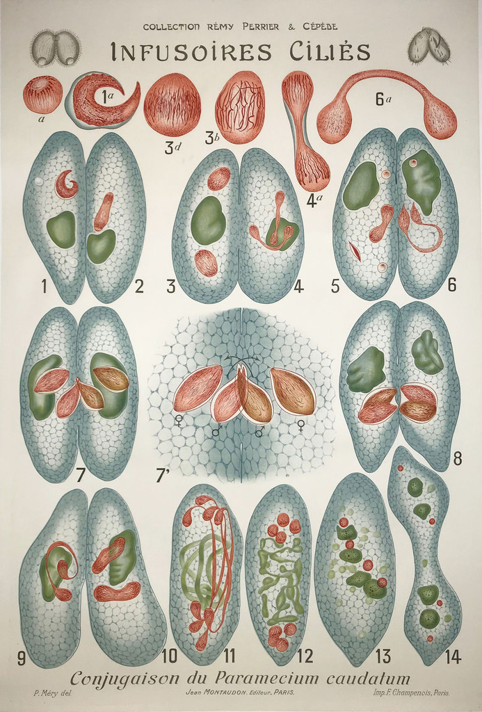 Infusoires Cilies Protozoa French 1903
