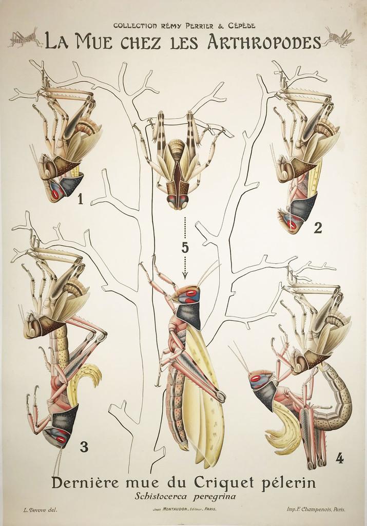 La Mue Chez Les Arthropodes Molting Cricket