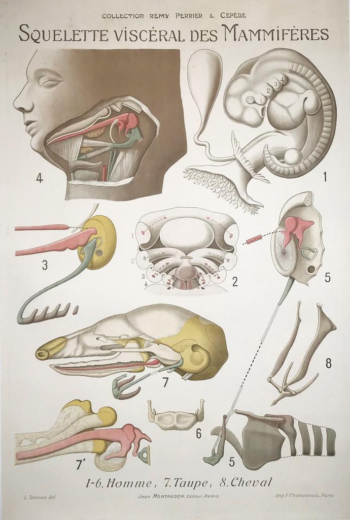 Squelette Visceral Des Mammiferes Visceral Skeleton