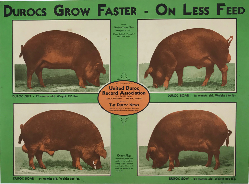 Durocs Grow Faster - On Less Feed Original 1938 Vintage American Advertisement Circular Poster Linen Backed
