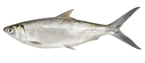 WHOLE MILK FISH 600/800